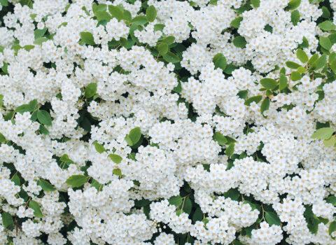 Spirea busk Albiflora