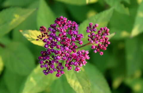 Anthony Waterer Spirea busk