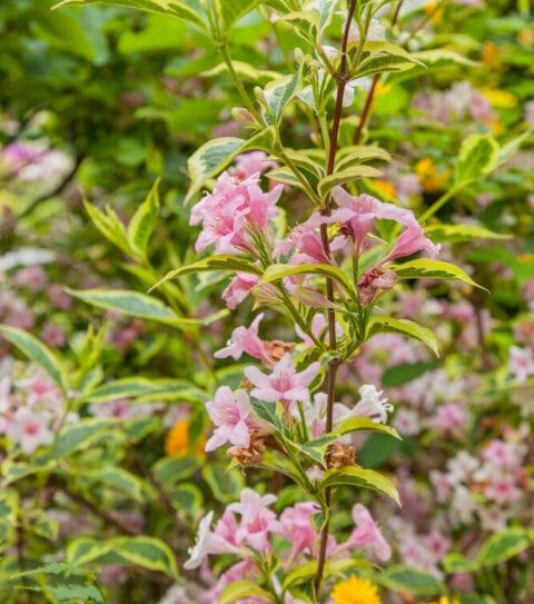 Dronningebusk - Kolkwitzia Amabilis