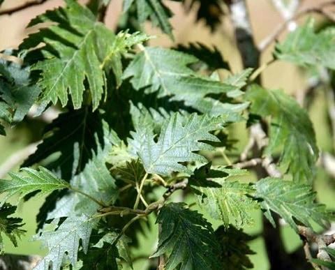 Fligbladet Rødel træ