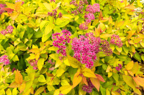 Golden Princess Spirea busk
