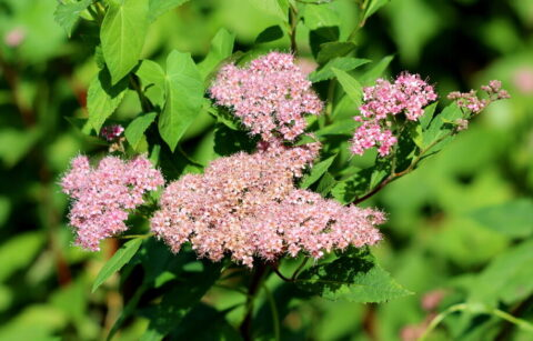 Spirea busk Little Princess