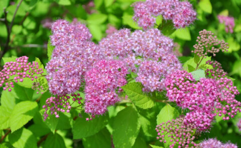 Spirea busk Magic Carpet