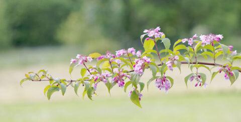 Pink Cloud Dronningebusk - Kolkwitzia amabilis Pink Cloud
