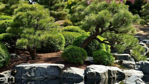 Pinus mugo Bonsai bjergfyr