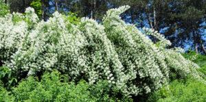 Spireahæk - Spirea busk