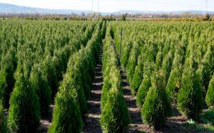 Thuja træer